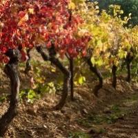 (Français) [;en]Autumn vinesVignes en automne