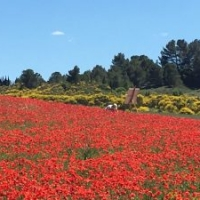 Stunning local poppy fields in May and June